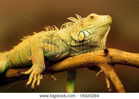 big green lizard on the branch