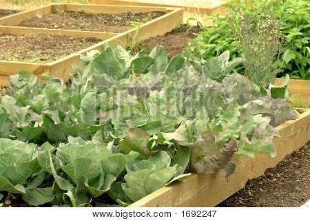 Kohl im Garten