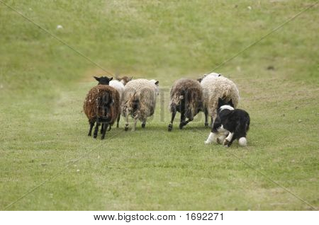 Callender Sheep Dog
