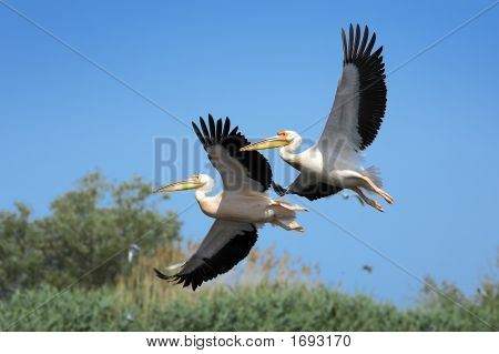 White Pelicans (Pelecanus Onocrotalus) Flying Over The Lake