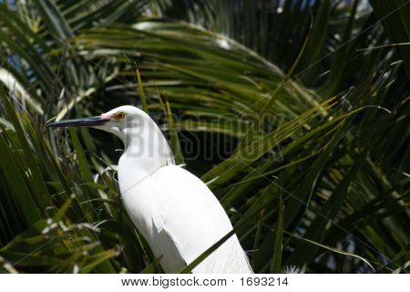 Noble Egret