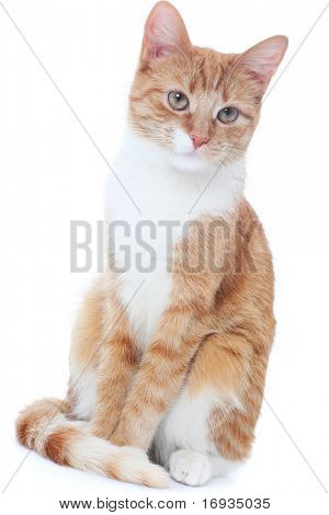 nice red cat isolated on white