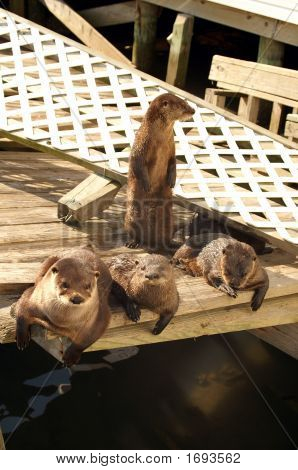 Four Otters