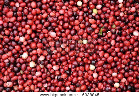 Cranberries being harvested