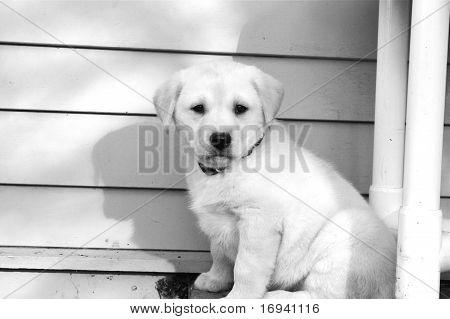 Baby Lab Pup