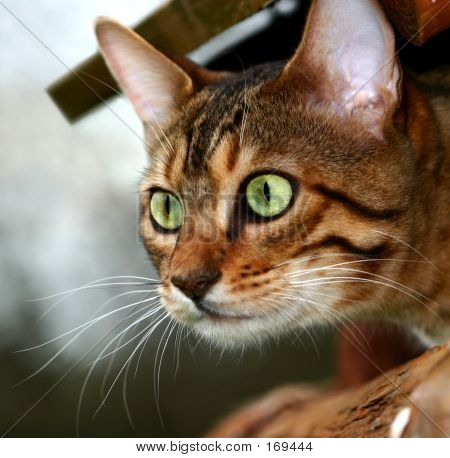 Bengali Kitten