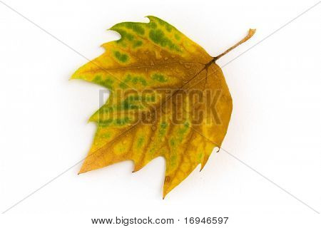 Autumn leaf. White background.