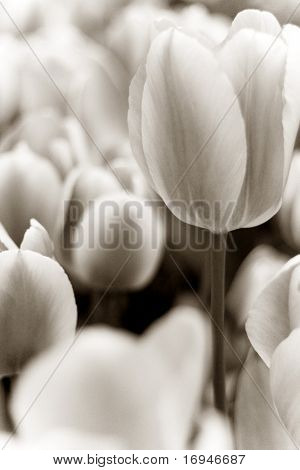 Abstract flower background. Sepia toned tulips. Selective focus.