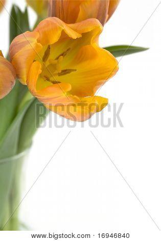 Belas tulipas laranja em fundo branco