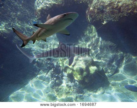 Reefsharks