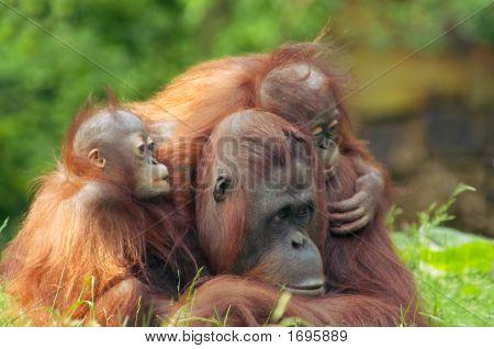 Mother Orangutan With Her Babies