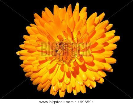 Pot Marigold Flower On Black Background