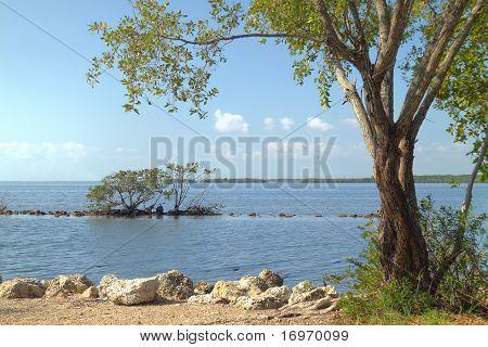 Bockholzbaum Biscayne Nationalpark