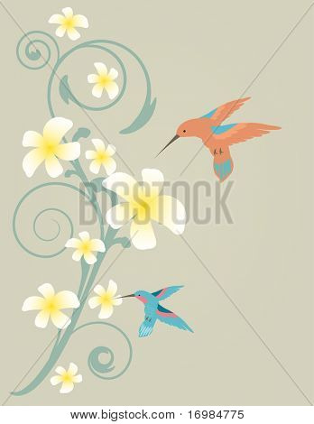 Two hummingbirds flying near frangiapani flowers
