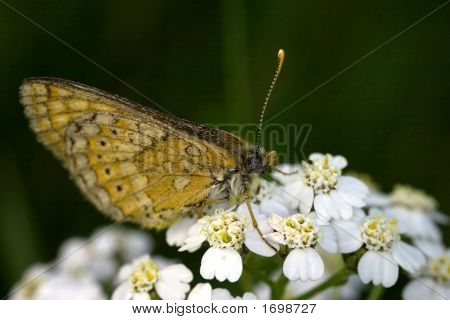 Small Butterfly And White Flowers