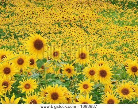 Sun Day Flowers