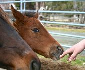 picture of appaloosa  - One week old little appaloosa mare being curious - JPG