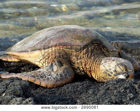 Green Sea Turtle sleeping on the ocean