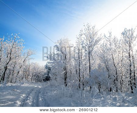 Winter forest, trees covered with rime