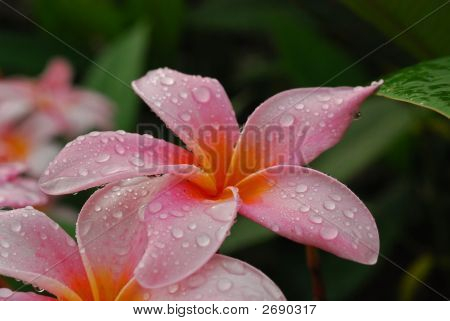 Water Droplet And Pink Flowers In The Gardens