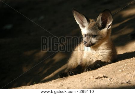 Bat-eared Fox Cub