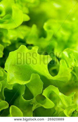 fresh green lettuce salad closeup