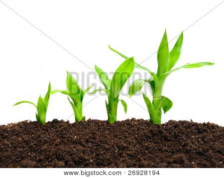 plant in a row in the soil