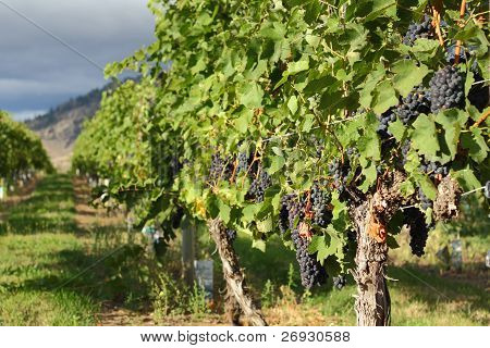 Ripe Grapes, Okanagan Vineyard, British Columbia