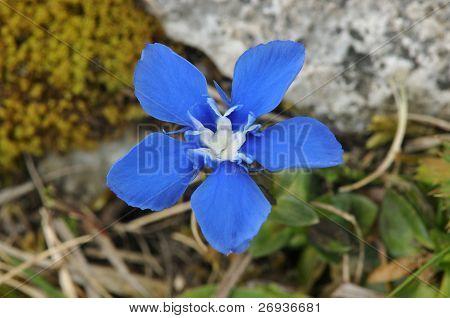 Spring Gentian