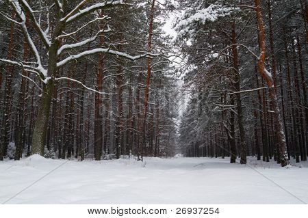 Winter forest over in Poland