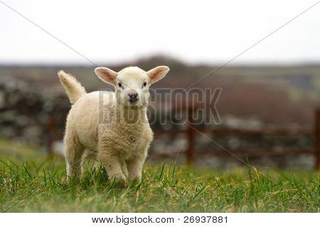 Irish baby sheep