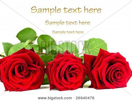 Beautiful red roses close up over white background with sample text