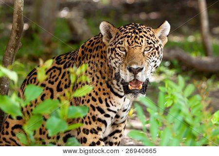 Jaguar im Wildpark der Jucatan in Mexiko