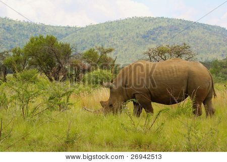 Rhino in Pilanesberg Game Reserve, South Africa