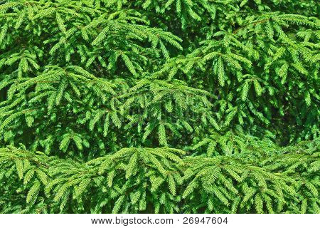 Spruce Tree Background