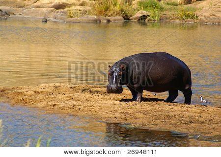 Hipopótamos en el Parque Kruger, Sudáfrica