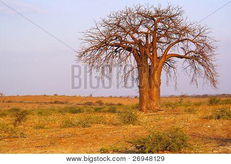 Baobab in Kruger Park, South Africa