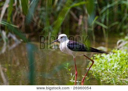 Black-winged stilt walking in a pond.