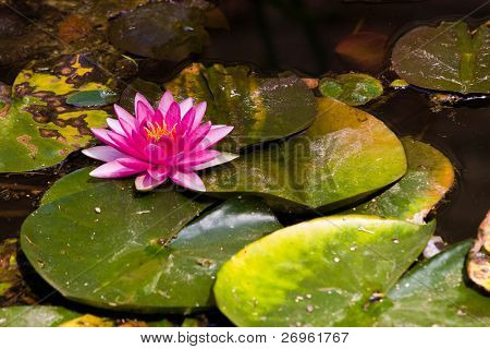 Water lilly aka nymphaea