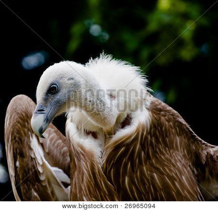Snow vulture