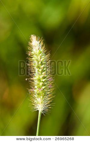Macro de plantas de trigo verde
