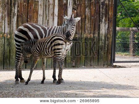 Zebra with its baby