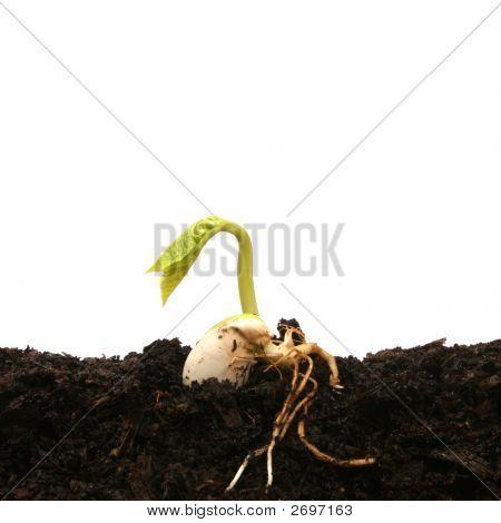 Frijol germinando