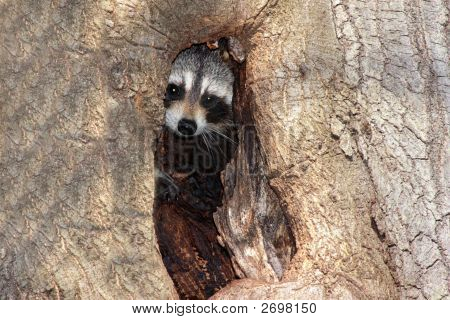 Baby Raccoon (Procyon Lotor) In A Tree