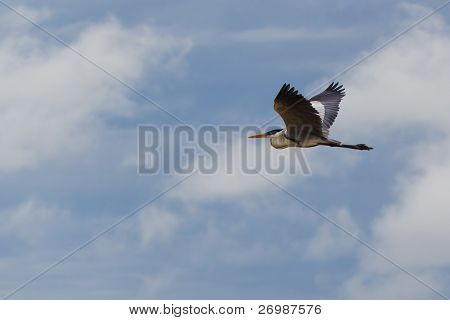 White necked blue heron in flight