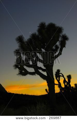 Joshua Tree & Moon