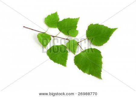 Image of a birch twig on a white background