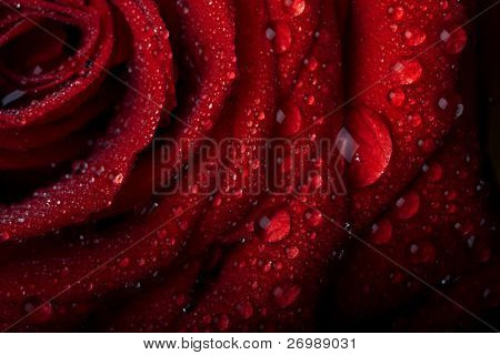Picture of a rose in the dew drops on a black background