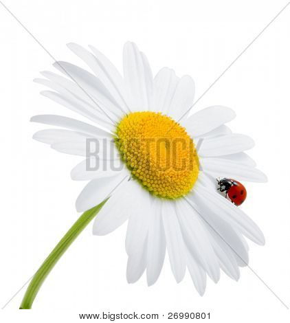 Images of the ladybug is sitting on camomile against the blue sky