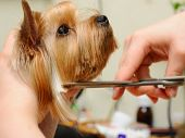stock photo of yorkie  - yorkshire terrier  getting his hair cut at the groomer - JPG